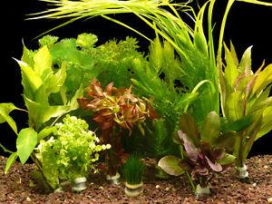 bundpflanzen aquarium