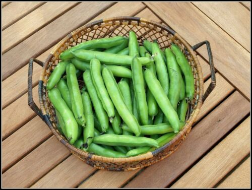 MANGETOUT BROAD BEAN STEREO COOK YOUNG PODS WHOLE OR SHELL BEANS LATER 75 SEEDS