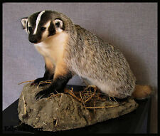 Beautiful Badger Taxidermy Unique Hunting Wildlife Mount Animal Cabin Art Gift