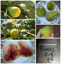 Greek Honey Fig Tree ~25 Top Quality Seeds - GIANT Size (!!!) Must Try!