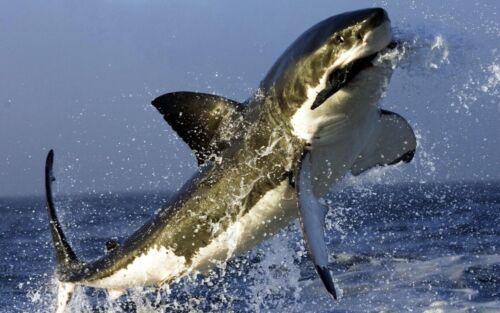 Stunning Great White Shark Canvas Art Print Poster 12X20 Painting Original Photo