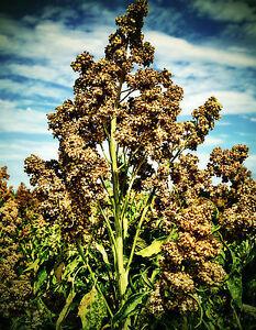 Quinoa Graines Weiss, Chenopodium Quinoa Seeds, Superfood-afficher Le Titre D'origine RafraîChissant Et Enrichissant La Salive