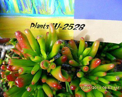 Crassula argentea Coral Jade Plant Instant Features Easy Bonsai Starters x 10