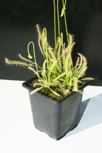 Drosera Capensis Alba South Africa The Cape Sundew Cultivar Carnivorous Plants