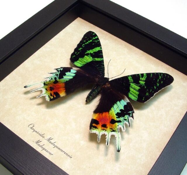 Real Framed Madagascar Sunset Moth Shadowbox Display 163