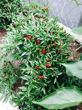 Thai Tiny Hot Pepper 40 organic Seeds pepper FREE SHIPPING