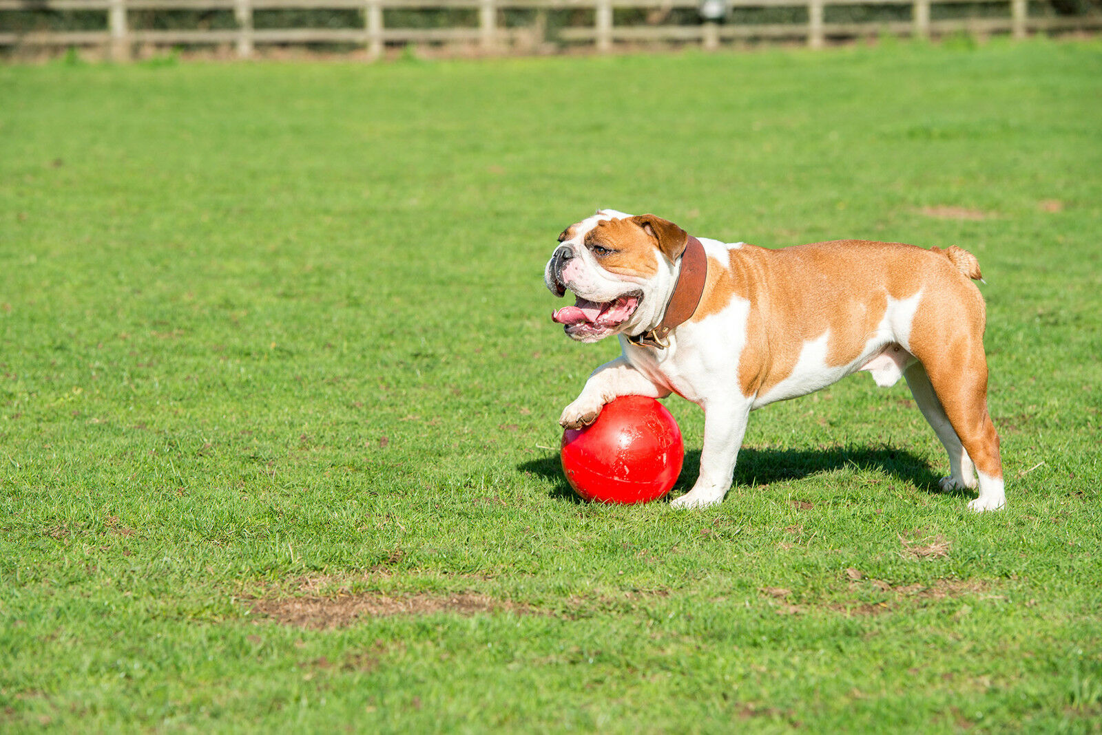 Company of Animals Boomer Ball, Hundespielzeug (15.2cm 150mm) rot rot rot Farbe  | Online Store  2f2464