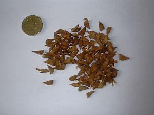 Il-cedro-del-Libano-Cedrus-Libani-sempreverde-conifera-x-100-semi
