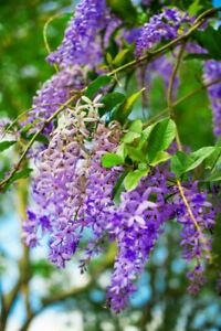 Königinnenkranz - Petrea volubilis -  girlandenartige Blüten in violett.