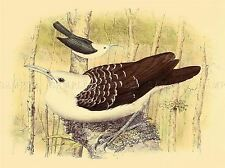 PAINTING ANIMAL BIRD POLLARD VAN DAM SICKLE BILLED VANGA ART PRINT LAH422A