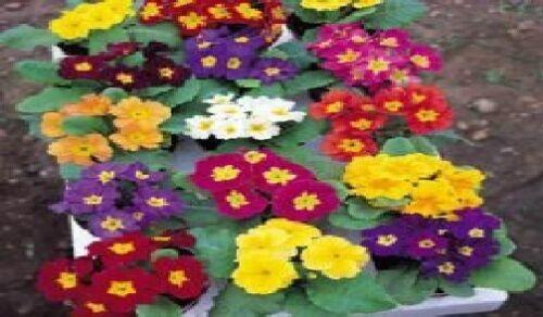 300 Seeds Large Packet Primrose Flower Crown Mixed
