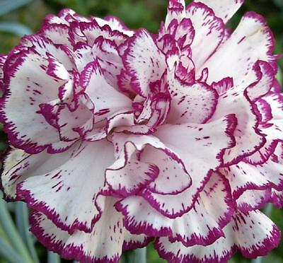 CARNATION * Dianthus Caryophyllus * CHAUBAUD PICOTEE MIX * FRAGRANT * SEEDS