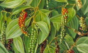 Piper nigrum   Black Pepper Corn   50_Seeds