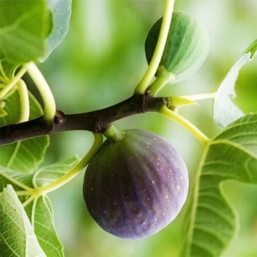 """12°! FIGUIER Ficus /""""Ronde de Bordeaux/"""" Plant de 25//35cm Rusticité"""