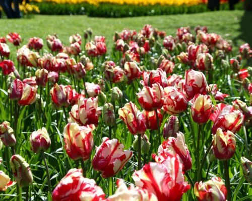 Spring bulbs Tulip Estella Rijnveld BIGGER BULBS BIGGER FLOWERS