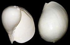 "LARGE POLISHED Rare White Indian Volute Melon Seashell ~ Melo melo Shell ~7""-8"""