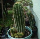 """TRICHOCEREUS SPACHIANUS """"Golden Torch Cactus"""" Succulent Plant"""