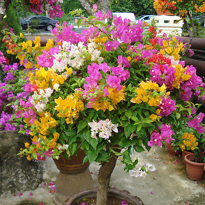 100pcs-Mixed-Color-Bougainvillea-Bonsai-Flower-Plant-Seeds-Home-Garden-Decor