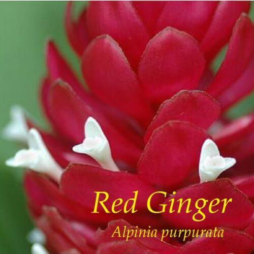 ~HAWAIIAN RED GINGER~ Alpinia purpurata TROPICAL Red Cones LIVE Small Potd PLANT
