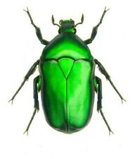 ONE REAL GREEN SCARAB BEETLE TORYNORRHINA FLAMMEA THAILAND UNMOUNTED