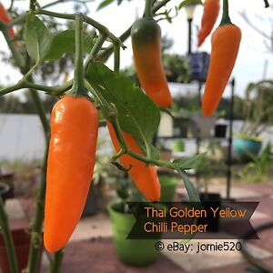 RARE-Thai-Golden-Yellow-Hot-Chilli-Pepper-15-Seeds-Bright-Color