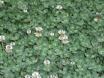 "Weißklee Trifolium repens 50.000 Samen "" NUR 7,50 EURO"""