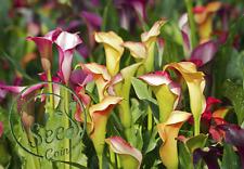 Flower Seeds Decor Calla Lily Rare Colorful Home Garden Plants Bonsai 100 Pcs