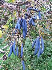 Decaisnea fargesii HIMALAYAN BLUE BEAN Shrub Seeds!