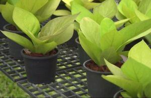 1 Plant Golden Leaf Anthurium Jenmanii Engl Rare Houseplant Ebay