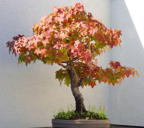 I Amber-Arbre I est comme un grand arbre et petite Bonsai MAGNIFIQUE regarder.