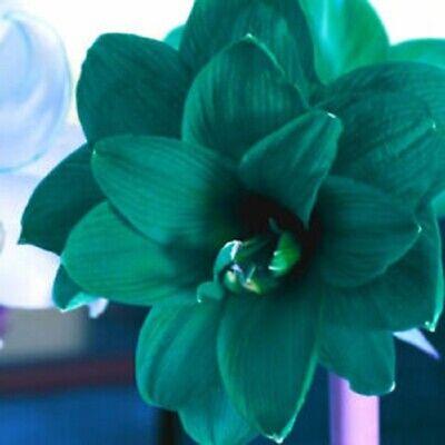 Hippeastrum Amaryllis Bulbs Bonsai Perennial Flower Green Gift Rare Hardy Plant