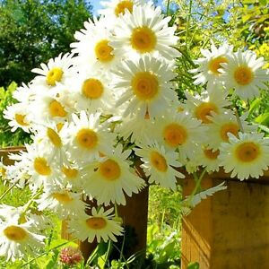 1-Pack-200-German-Fragrant-Chamomile-Seeds-Plant-Garden-Flower-Seed-S067