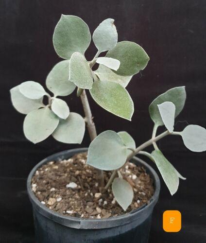 cacti succulent foliage plant with roots Kalanchoe Hildebrandtii silver teaspoon
