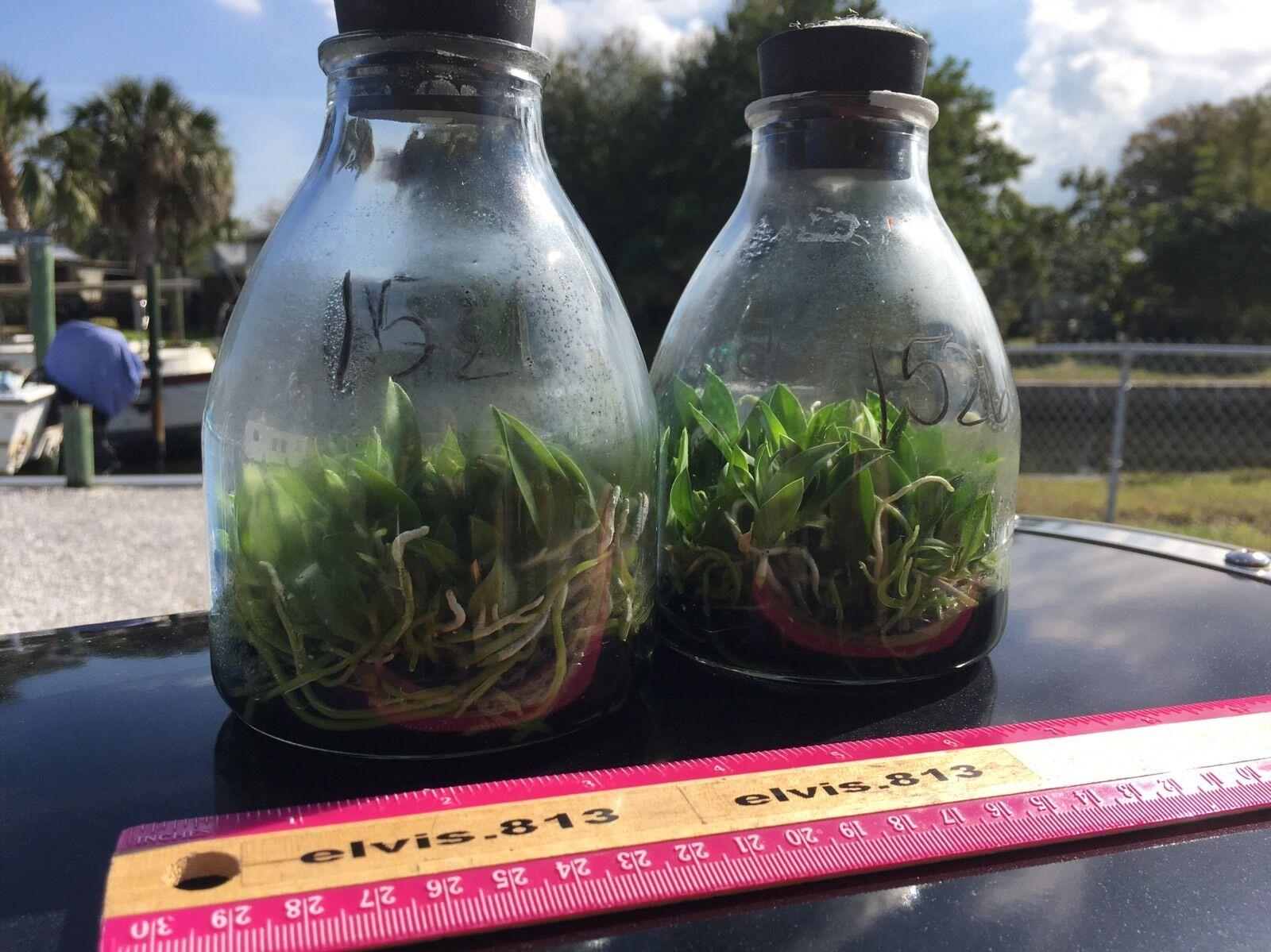 Sophronitis Cernua Orchid Species Flask 20 Robust Seedlings GR8 Roots BEAUTIFUL!