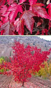 Flame Amur Maple Acer Ginnala Flame Tree Seeds Fall Color