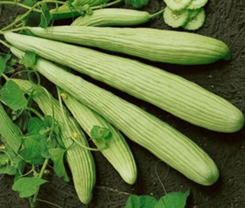 Armenian Yard-Long Cucumber 30-500 Seeds Snake Melon Burpless Heirloom Rare