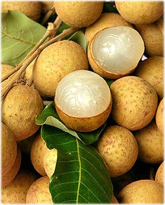 Euphoria longana - Biew Kiew longan 3.5 - 4 ft Fruiting next year! 7 gallon