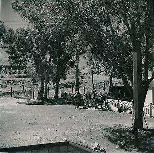 ALGERIE-c-1950-Chevaux-Beni-Mansour-Les-Portes-de-Fer-Div-11381