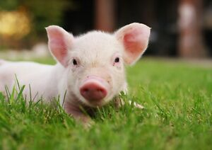 Adorable-Piglet-Poster-Print-Size-A4-A3-Cute-Animals-Poster-Gift-8132