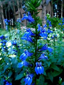 Tall great blue lobelia cardinalis siphilitica perennial rare 300 image is loading tall great blue lobelia cardinalis siphilitica perennial rare mightylinksfo
