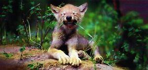 Details Zu Xxl Ansichtskarte Kleiner Wolf Kanada Wolf Baby