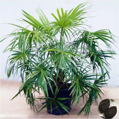 Ornamental Livistona Chinensis Seeds Plants Bonsai Tall Evergreen Tree 5pcs