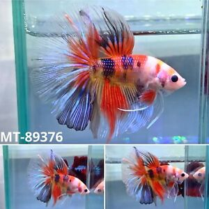 (MT89376)* Candy Nemo Koi Halfmoon Galaxy* Live Male Betta - Quality Grade A+++