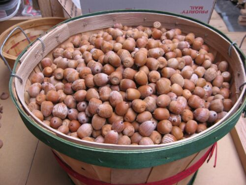 15# Red Oak Acorns for Seeds Tree Landscape Plants Food RATE Box. LARGE F
