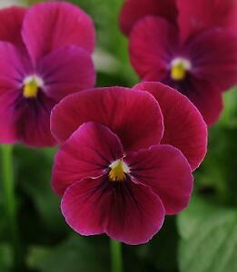 Viola Sorbet XP Orchid Rose Beacon    250 Seeds