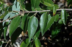 Acer-oblongum-EVERGREEN-MAPLE-TREE-Seeds