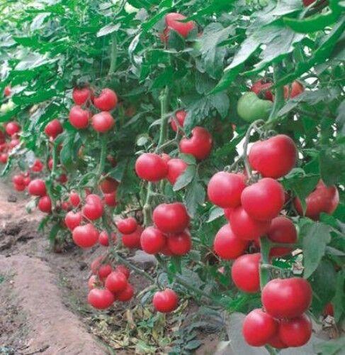 Tomate Cercle Pourpre Graines 0,2 g Ukraine tomates томат малиновый звон Jardin Idée