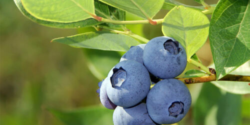 GIANT Size⭐Hardy Winter ⭐BLUEBERRY⭐50-Fresh Seeds⭐Sweet /& Delicious⭐UK Seller//