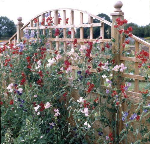 Flower 60 Seeds Galaxy Mixed Sweet Pea