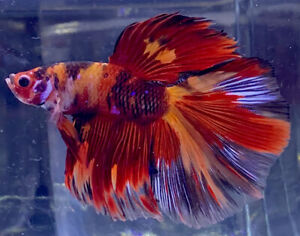 Live Betta Fish Male Import Nemo Halfmoon Betta #702